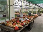 Butternuts, potimarrons, citrouilles, coloquintes